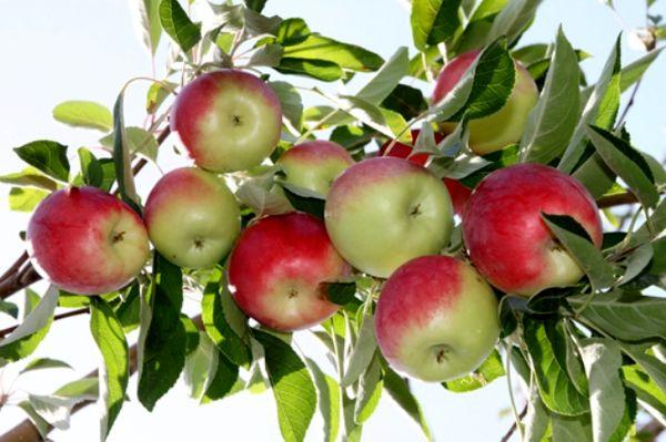 آغاز برداشت سیب گلاب از 2000 هکتار باغات استان اصفهان