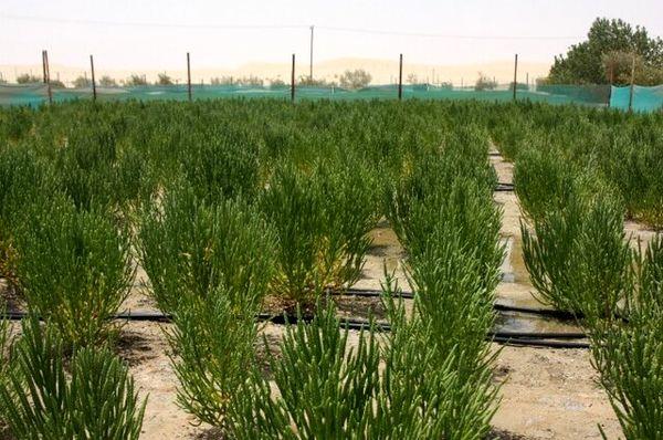 انتقال دانش فنی کشت گیاه شورپسند «سالیکورنیا» به بخش خصوصی