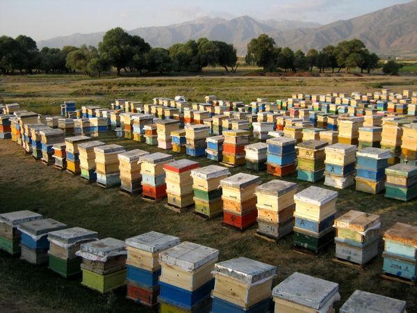 بیش از1000زنبورستان در استان بوشهر آمارگیری شدند