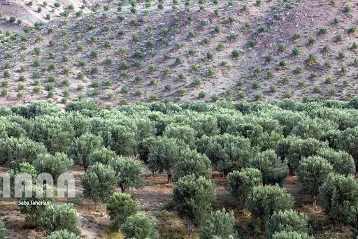 برنامه ریزی برای توسعه 4 هزار هکتاری باغات زیتون در سال جاری