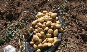 کشت سیب زمینی در 600هکتار از مزارع شهرستان ارزوئیه