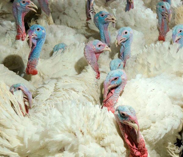 بهرهبرداری از فارم ۲ تنها زنجیره تولید گوشت بوقلمون کشور در زنجان