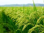 رقم جدید برنج با نام کیان نامگذاری شد