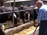 موفقیت دامدار نمونه نجف آبادی در پرورش گاوهای شیری و گوشتی