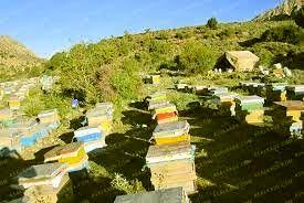 میانگین تولید عسل در خراسان شمالی نسبت به کشور حدود ۲ کیلوگرم بیشتر است
