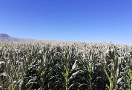 سرمای پائیزه به مزارع ذرت مرودشت خسارت زد