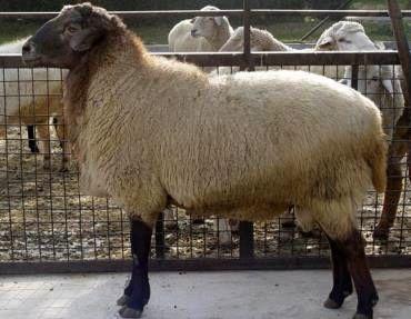 چرا نژاد گوسفند سنجابی ایران، محبوب قطری هاست!؟