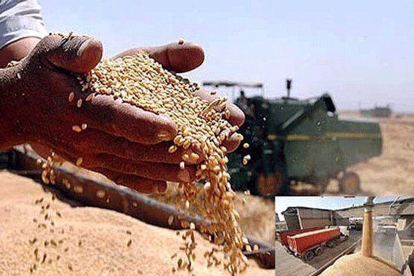 خرید ۷۵۰ هزار تن گندم در ۸۵ مرکز کردستان