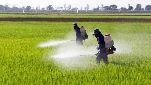 مبارزه با آفت سن غلات و علفهای هرز درسطح 12 هزار هکتار از مزارع ارومیه