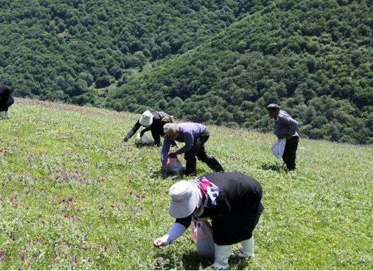 در خراسان شمالی ۳۵۰ گونه گیاه دارویی میروید