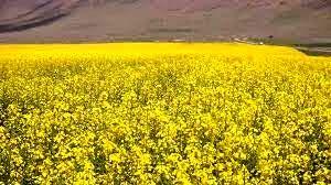 خرید توافقی ۶۸۵ تن کلزا از کشاورزان خراسان شمالی