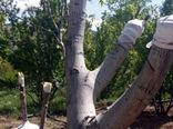 برنامه ریزی جهت انجام عملیات سرشاخه کاری ٢٠ هزار اصله درخت گردو در شهرستان مراغه