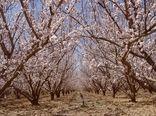 خلق طبیعتی زیبا با گل دهی درختان میوه در ابرکوه