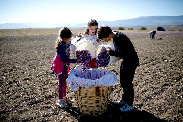 برداشت زعفران در یونان