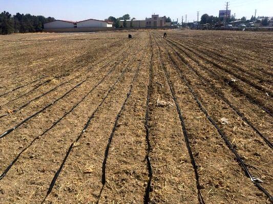 کشت کلزا در ۷ هکتار از اراضی زراعی ملارد با استفاده از روش آبیاری نوار تیپ