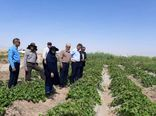 بیش از 150 هکتار از اراضی کشاورزی شهرستان ساوه زیر کشت محصول پنبه رفت