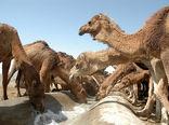 سیستان و بلوچستان قطب پرورش شتر در کشور است