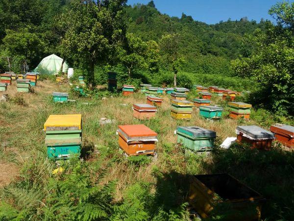 تولید ۳۰۰تن عسل در شهرستان رودسر