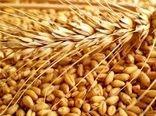 افزایش بهرهوری گندم با اقدامات به نژادی و به زراعی