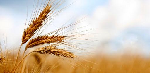 امسال 62 هزار تن غلات از مزارع شهرستان ارومیه برداشت می شود