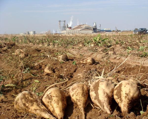 برداشت 11500 تن چغندرقند از اراضی کشاورزی