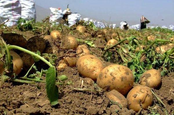 برداشت بیش از ۶۵ هزار تن سیب زمینی در شهرستان فریدونشهر