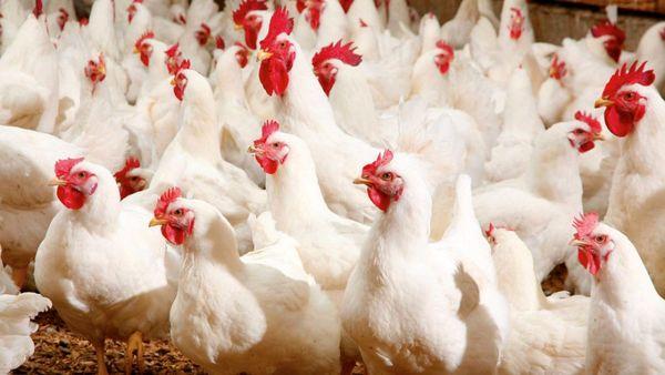 مدیریت یکپارچه سازی در مرغداریها
