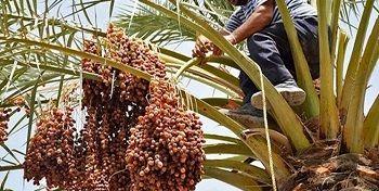 تولید بالغ بر 180 هزارتن خرما در استان فارس