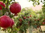برداشت انار از باغهای شهرستان کاشان