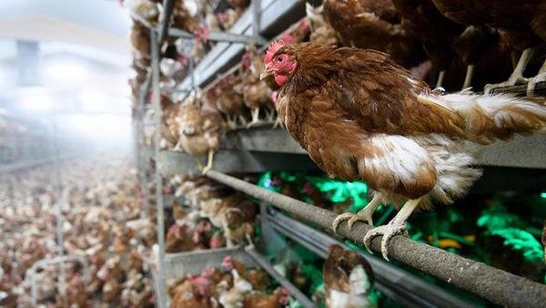 خطر شیوع آنفلوانزای فوق حاد پرندگان در اصفهان