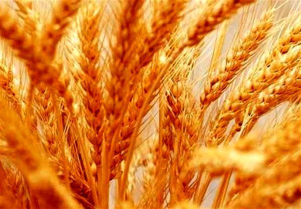 افزایش 30 درصدی تولید گندم با اجرای طرح ملی گندمبنیان