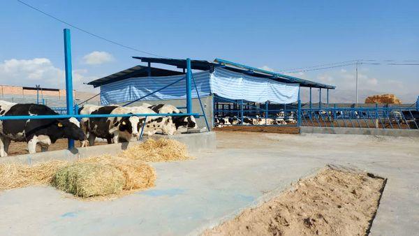 فاز اول مجتمع دامپروری گاو شیری ۱۰۰۰ راسی در شیروان به بهره برداری رسید