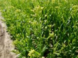 لزوم حمایت مالی و فنی از کشت دانه روغنی کاملینا در کشور