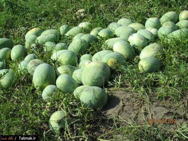 پیشبینی کشت  5500 هکتار سبزی و صیفی