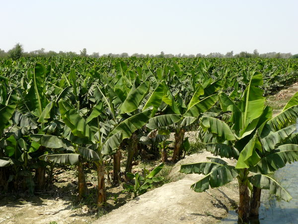 تولید سالانه بیش از ۱۵۸ هزار تن میوه گرمسیری