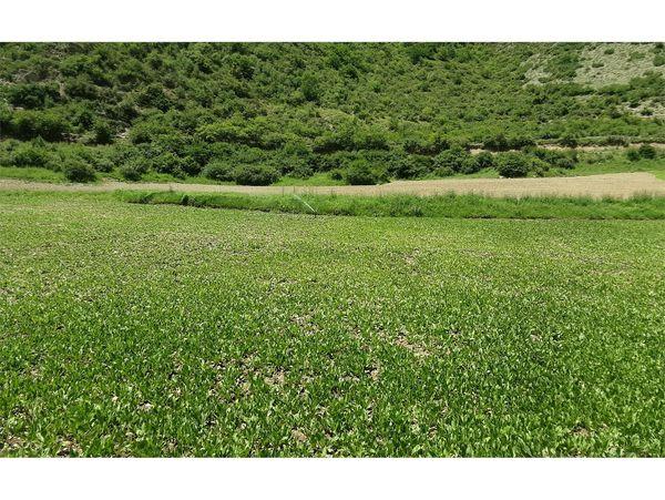 کشت 420 هکتاری سبزی ارگانیک در ارتفاعات آمل