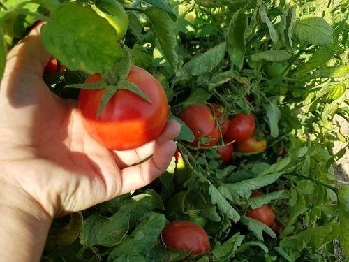 تولید گوجه فرنگی گواهی شده در خرامه