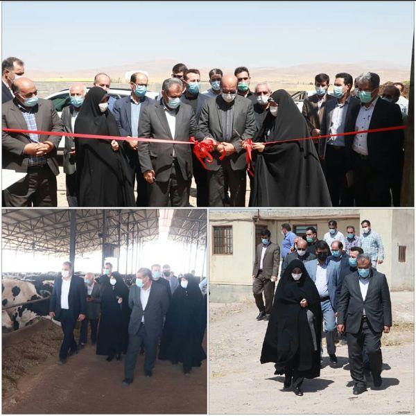 یک طرح دامداری گاو شیری در شهرستان قزوین افتتاح شد
