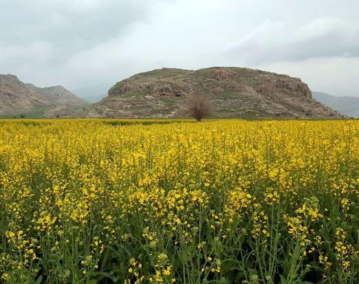 ۱۸۴ هزار تن دانه روغنی و گندم در خراسان شمالی خریداری میشود