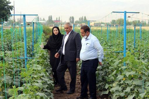 یکی از تکنیکهای سایت ملی بهره وری تولیدات گیاهی شهرستان ویژه مرند، کشت داربستی خیار است