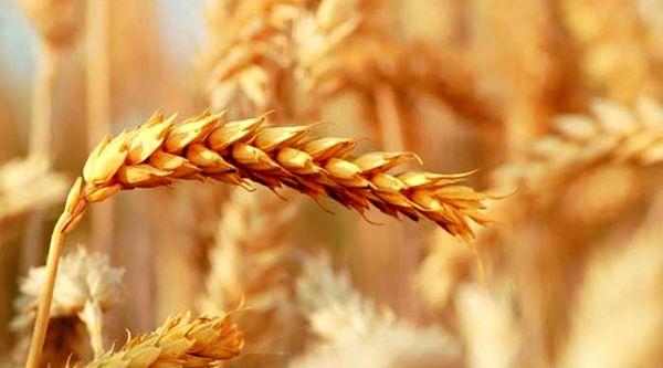 برداشت 3500 تن گندم و جو از مزارع شهرستان بم در سال جاری