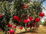 افزایش ۲۰ درصدی تولید انار در کردستان
