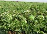 برداشت هندوانه  از 150 هکتار از اراضی شهرستان بردسیر