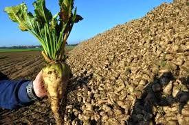 تولید سالانه حدود 165 هزار تن چغندر قند در استان سمنان