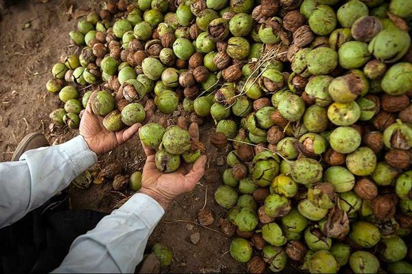 کرم خراط بلای جان درختان گردو در استان همدان