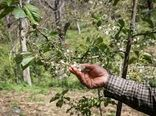 سرما هزار و ۸۰ میلیارد ریال به بخش کشاورزی اسفراین خسارت زد