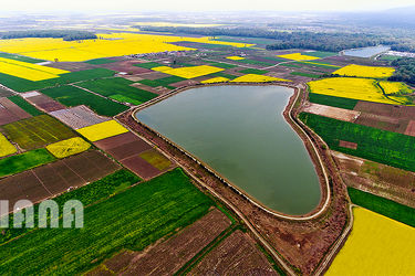 مزارع کلزا در ایران2