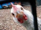 قیمت مرغ در کردستان به ۲۲ هزار تومان کاهش مییابد
