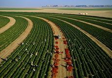 مزرعه گوجهفرنگی در شهر الفاو عراق