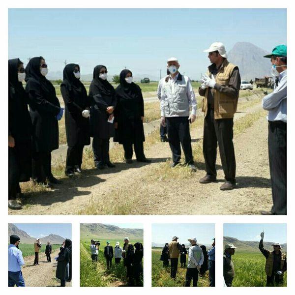 بازدید از سایت الگویی تولیدی گندم روستای سمنگان سفلی واقع در شهرستان صحنه